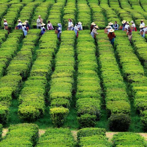 azorestea plantation